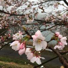 Cafe Deear前の桜